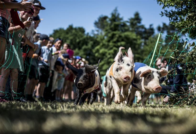 Pig Racing - Royal Norfolk Show